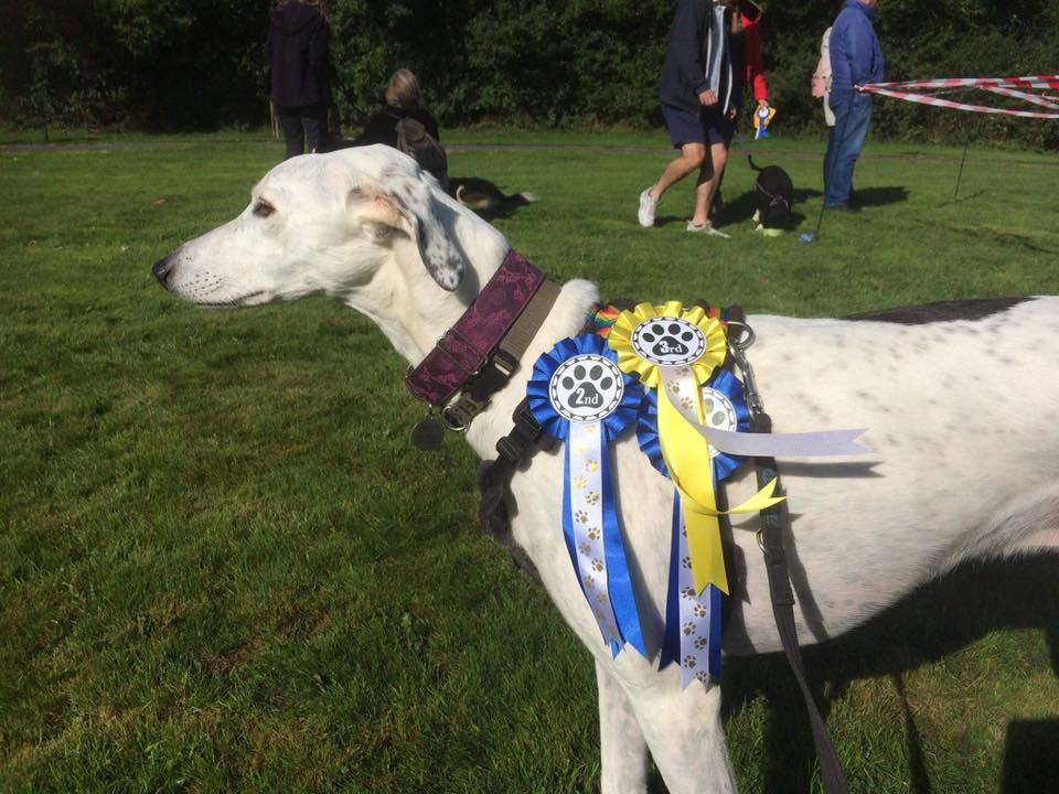 white greyhound with rosettes