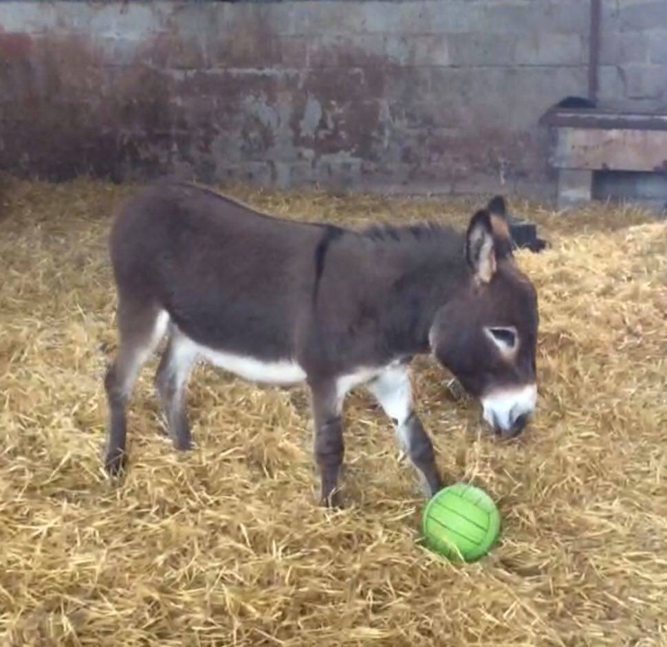 donkey with ball