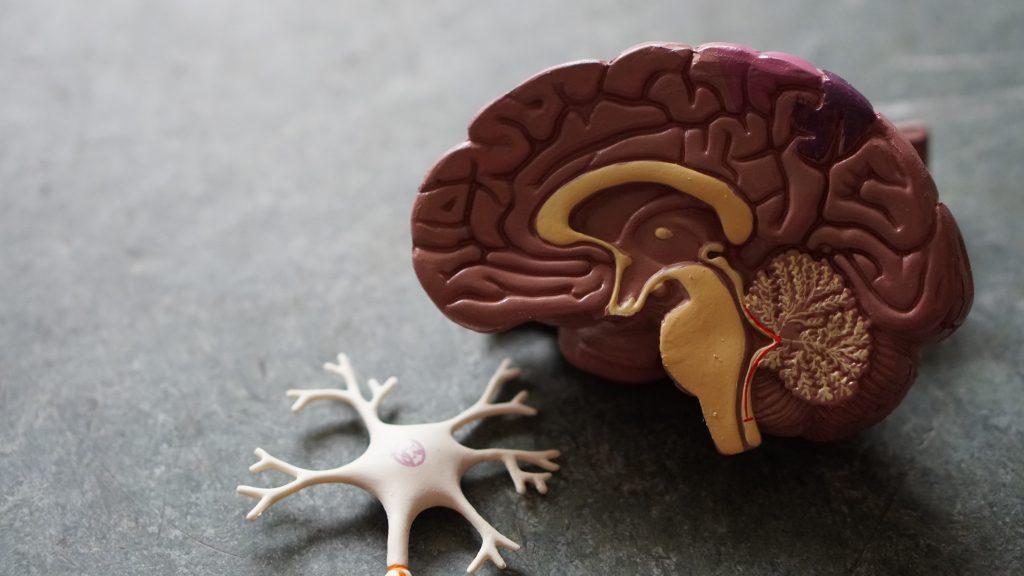 half a brain and a neuron diagram